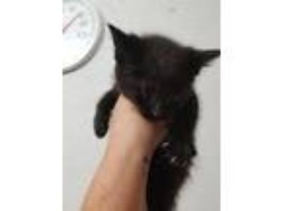Adopt 19-167 a Domestic Medium Hair