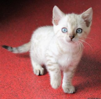 Adorable Bengal kittens Available