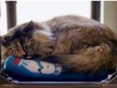 Adopt Samantha a Domestic Longhair / Mixed cat in Concord, NH (25266730)