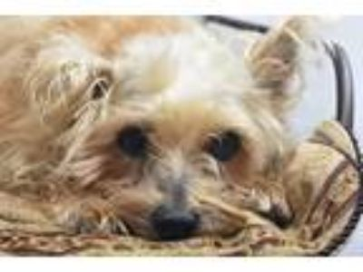 Adopt Maxine a Terrier (Unknown Type, Small) / Mixed dog in Fort Worth