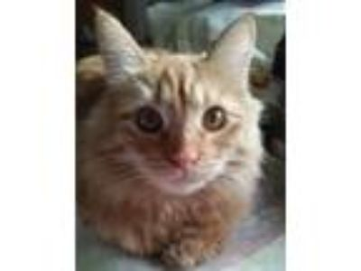 Adopt Renni a Domestic Short Hair