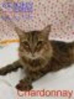 Chardonnay Maine Coon Cat