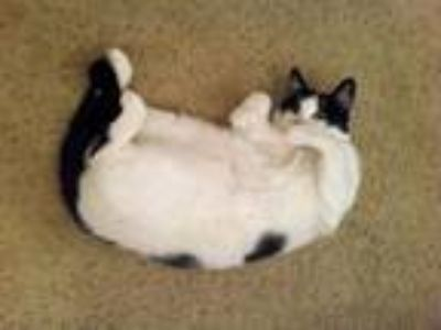 Adopt Fred a White (Mostly) American Shorthair cat in Yucaipa, CA (25307102)