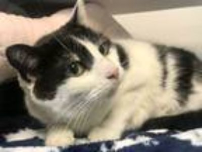 Adopt Velma a Domestic Short Hair
