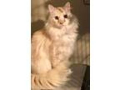 Adopt Lincoln a Cream or Ivory Domestic Longhair cat in Dallas, TX (25445018)