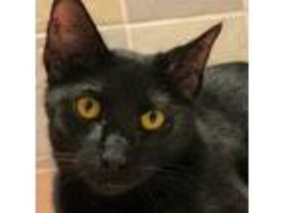 Adopt Margie a All Black Domestic Shorthair / Mixed cat in Palatine
