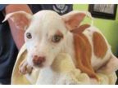 Adopt Clarice Darling a White American Pit Bull Terrier / Mixed dog in West