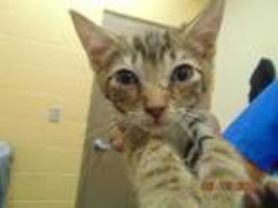 Adopt ARCHIE a Brown Tabby Domestic Shorthair / Mixed (short coat) cat in