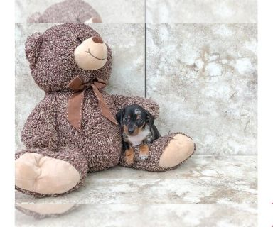 Dachshund PUPPY FOR SALE ADN-130240 - Kamo The Dachshund
