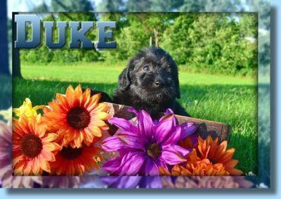 Duke Male Labradoodle