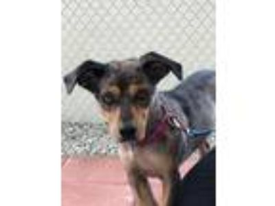 Adopt Princess a Catahoula Leopard Dog / Hound (Unknown Type) / Mixed dog in Ft.
