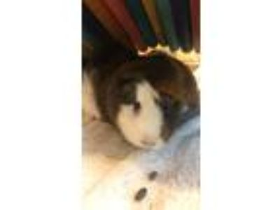 Adopt Roxy - Companion To Daisy a Guinea Pig small animal in Stratham