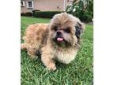 Adopt Ricky a Tricolor (Tan/Brown & Black & White) Shih Tzu / Mixed dog in Cape