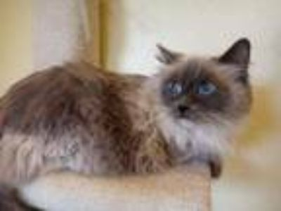 Adopt Dove a Cream or Ivory Ragdoll / Mixed (medium coat) cat in Winchester