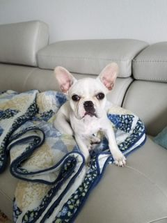 French Bulldog PUPPY FOR SALE ADN-71195 - Adorable French Bulldog Puppy