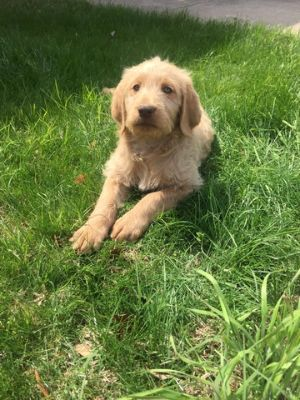 Labradoodle PUPPY FOR SALE ADN-66043 - Beautiful Chocolate and Golden Labradoodle Puppies