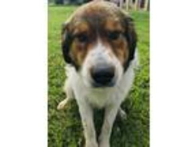 Adopt THOR a White - with Brown or Chocolate St. Bernard / Mixed dog in San