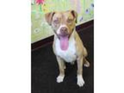 Adopt Florez a Brown/Chocolate American Pit Bull Terrier / Mixed dog in