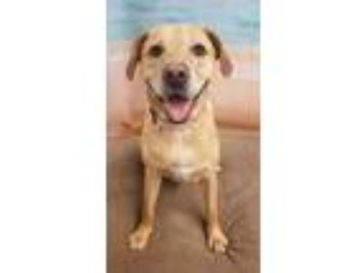 Adopt SOPHIA a Tan/Yellow/Fawn Labrador Retriever / Mixed dog in Tangent
