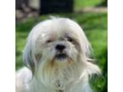 Adopt Elii a White - with Tan, Yellow or Fawn Shih Tzu / Mixed Breed (Small) dog
