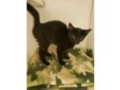 Adopt Maria a All Black Domestic Shorthair / Domestic Shorthair / Mixed cat in
