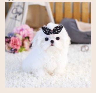 Maltese PUPPY FOR SALE ADN-72060 - TOY Maltese for Sale