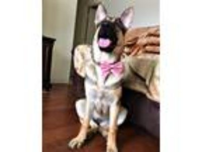 Adopt Angel a German Shepherd Dog