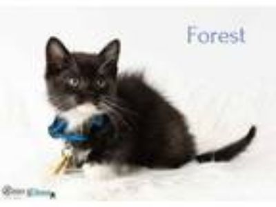 Adopt Forest a All Black Domestic Shorthair / Domestic Shorthair / Mixed cat in