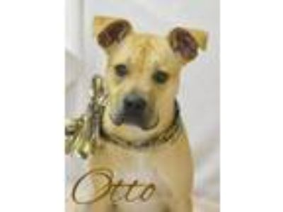 Adopt Otto a Pit Bull Terrier