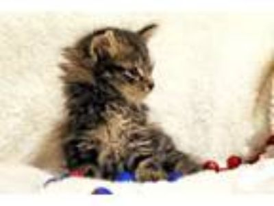 Adopt Havarti a Maine Coon, Domestic Long Hair