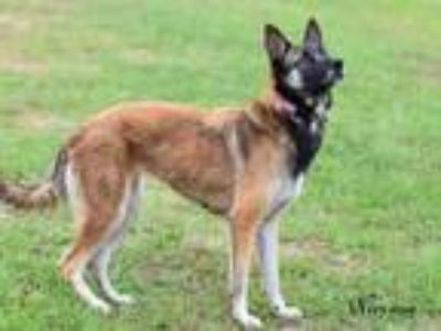 Adopt Nirvana a Brown/Chocolate - with Black Belgian Malinois / Mixed dog in