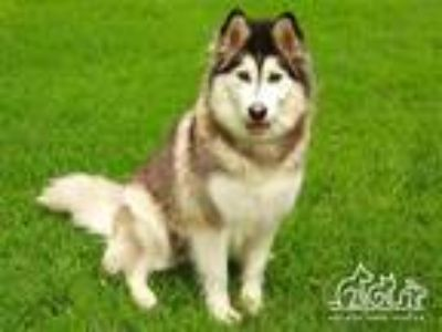Adopt LILLIE a Black - with White Alaskan Malamute / Mixed dog in Irvine