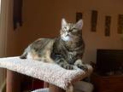 Adopt Kitty Cat a Calico or Dilute Calico Calico / Mixed cat in Bend