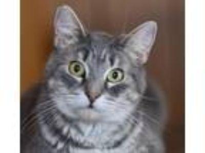 Adopt Phantom a Gray or Blue (Mostly) Domestic Shorthair / Mixed (short coat)