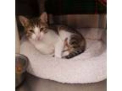 Adopt Jose a Domestic Short Hair, Tabby