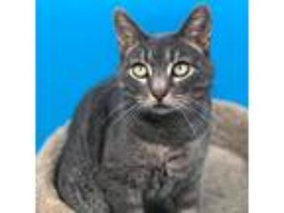 Adopt Parker a Gray, Blue or Silver Tabby Domestic Shorthair / Mixed (short