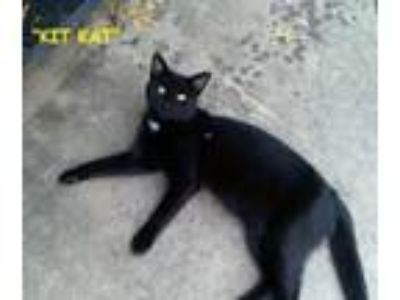 Adopt Kit Kat a Black (Mostly) Domestic Shorthair / Mixed cat in Muskogee