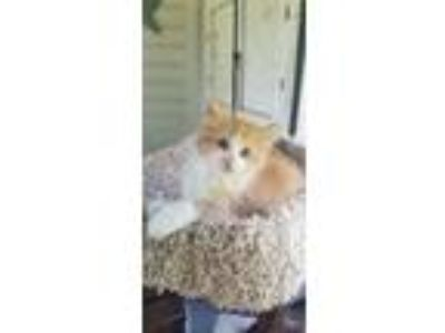 Adopt Johnny a Domestic Medium Hair