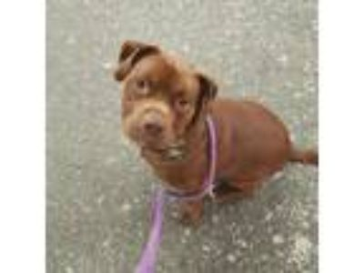 Adopt Charlie Brown a Brown/Chocolate Pit Bull Terrier / Mixed dog in New York