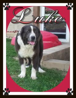 Luke Male AKC Newfoundland $299.00with AKC papers  330-826-1882