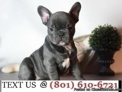 Respectful Blue French Bulldog Puppies Available