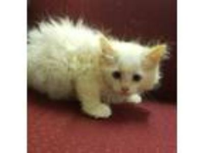 Adopt JC a White Domestic Longhair / Domestic Shorthair / Mixed cat in Amelia