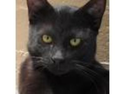 Adopt Miko a All Black Domestic Shorthair cat in Sarasota, FL (25313103)