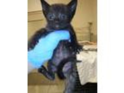 Adopt Biloxi a All Black Domestic Shorthair / Domestic Shorthair / Mixed cat in