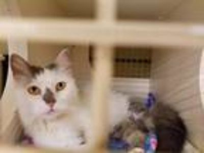 Adopt Bubbles a Domestic Longhair / Mixed cat in Fort Worth, TX (16545848)
