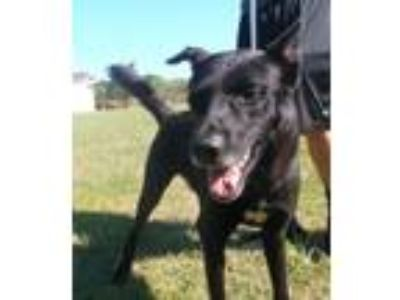 Adopt Thor a Black - with White German Shepherd Dog / Labrador Retriever / Mixed