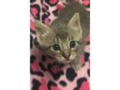 Adopt Cobalt a Domestic Short Hair