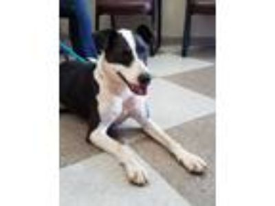Adopt CiCi a Border Collie