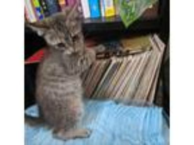 Adopt Charlie a Gray or Blue Domestic Shorthair cat in Island Park