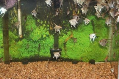 Angel Fish (Fresh Water) Back in Stock